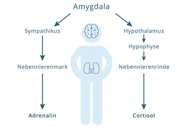 Stresshormone, Nebenniere, Adrenalin, Cortisol